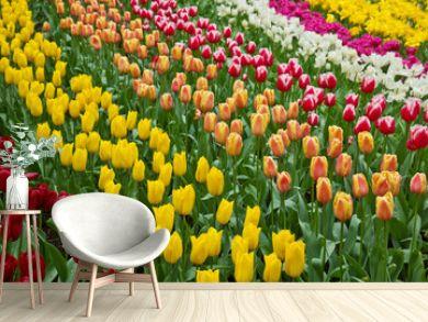 holland tulips field