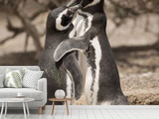 two magellanic penguins huging each other