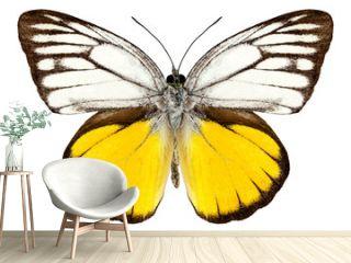 """Butterfly species Cepora aspasia """"orange gull"""""""