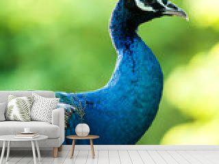 peacock in nightsafari chiangmai Thailand