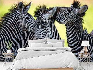 Zebras kissing and huddling