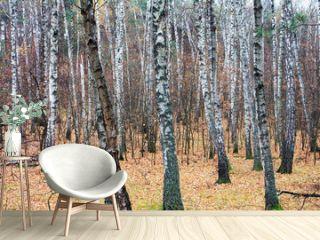 Forest is birch in autumn