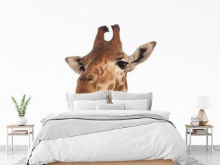 Close up shot of giraffe head isolate on white