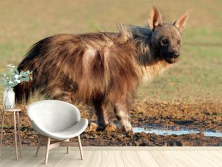 Brown hyena (Hyaena brunnea), Kalahari desert
