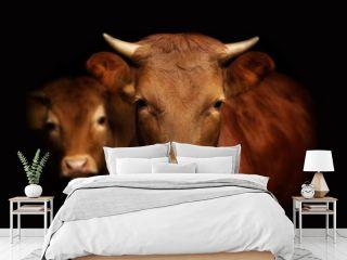 portret krowa