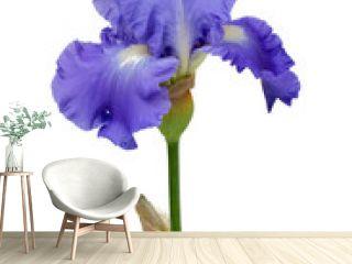 blue iris isolated on white background