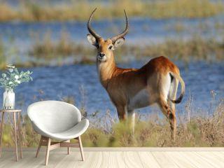Red lechwe antelope, Chobe National Park