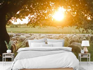 A Flock of sheep grazing on pasture grass during sunset