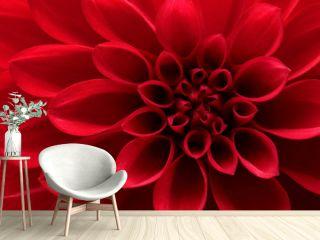 Close up of red dahlia flower