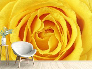 Beautiful yellow rose flower. Сloseup