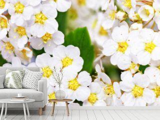 Beautiful white flowering shrub Spirea aguta (Brides wreath).