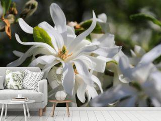 Royal Star Magnolia flower