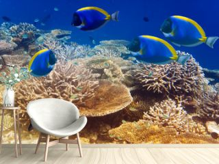 powder blue tang in the coral reef