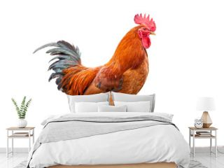 Colorful Rooster  On White background