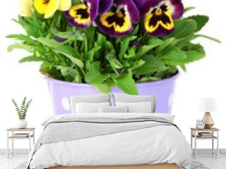Beautiful pansies flowers isolated on a white