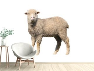 sheep isolated