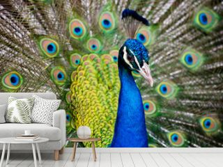 Portrait of beautiful peacock with feathers out..