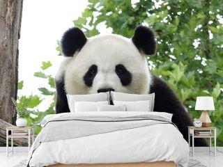 Panda Géant 3