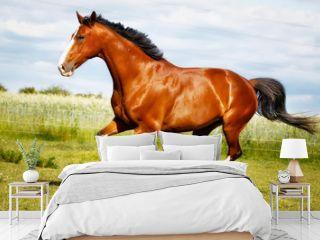 Running purebred horse