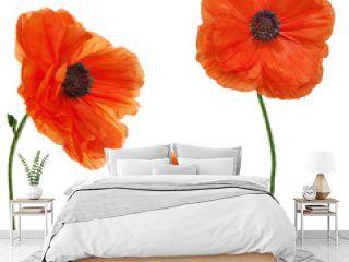Set of single poppy flowers isolated on white background.