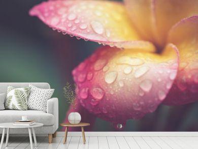 drop of water on petal Plumeria flower in retro effect