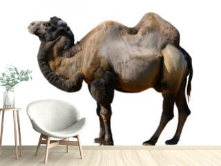 camel isolated on a white background