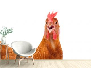 head of chicken hen shock and funny surprising isolated white ba