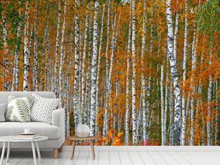 Autumn birch grove as a background