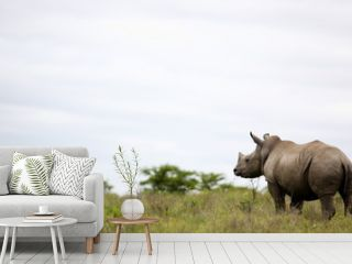 A young isolated young white rhino / rhinoceros in this image taken in South Africa