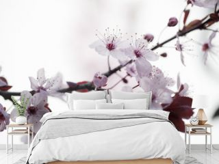 closeup on cherry blossom flowers for zen and inspiration from nature