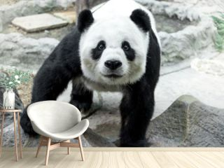 Lovely panda standing on the rock