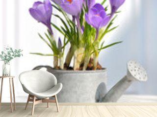 crocus en pot sur table
