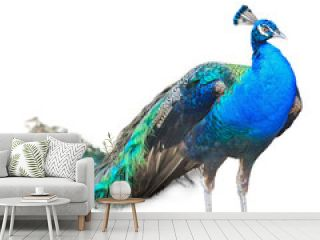 Beautiful Male Indian  Peacock Isolated On White Background