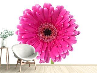Pink and white gerbera macro