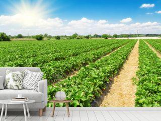 Strawberry plantation on a sunny day