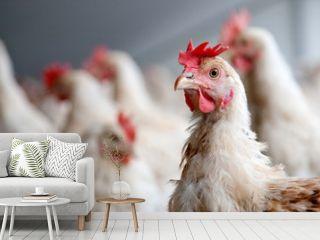 portrait of an organic chicken
