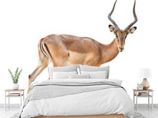 male impala isolated
