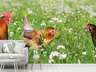 Chicken on the meadow