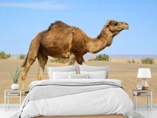 Walking camel