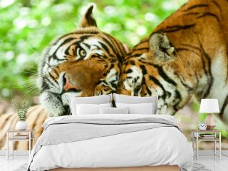 animal tiger love hug family two kiss couple pair emotion male and feminine beast in a affectionate pose in their natural environment
