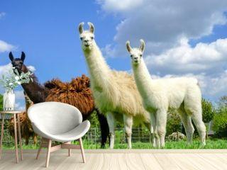Drei Lamas mit Jungtier auf einer Wiese