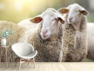 Two sheep on farm
