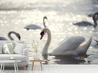 group of swans on Rhine river