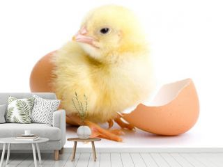 Yellow chicken hatching from egg