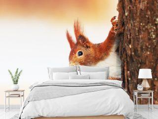 Red Squirrel (Sciurus vulgaris) in winter
