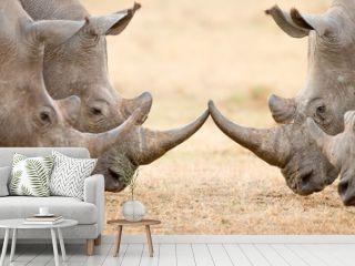 Four White Rhino's  locking horns