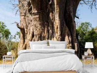 Tronco di baobab - Kruger park - Sudafrica