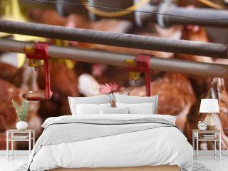 Farm chicken in a barn, drinking from waterer