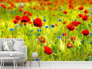 Kornblumen und Mohnblumen im Getreidefeld