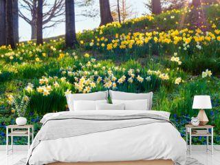 Daffodil morning